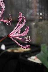 Nerine humilis (xerantheum) Tags: garden berkeley bulbs humilis nerine geophytes nnbh1893