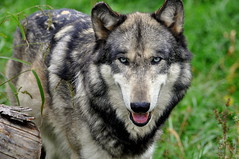 Grey Wolf (Eve'sNature) Tags: nature animals wolf wildlife omega canine wolfpack canislupus wildlifephotography coverphototnc13