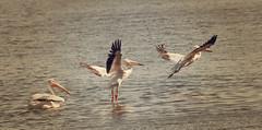 Up and Away (grandmasandy+chuck) Tags: whitepelicanosoflacolake white water bird adobephotoshopelements14 elements14 composite explore