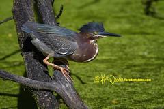 Green Heron (ThruKurtsLens.com (Kurt Wecker)) Tags: 2016 kurtwecker nature naturephotographer thrukurtslenscom wildlife wildlifephotographer wildlifephotography