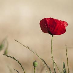 Rouge passion * (Titole) Tags: poppy titole nicolefaton squareformat shallowdof friendlychallenges