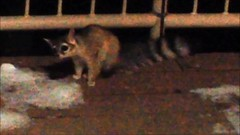 ringtail (cresthouse) Tags: sandia crest house new mexico 2 two miles high