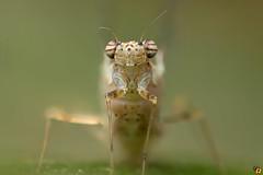 Mayfly (Rinaldo R) Tags: efemerotteri ephemeroptera effimera mayfly shadfly macro closeup handheld field stack canonmpe canon6d zerene focusstacking 5x51 mpe