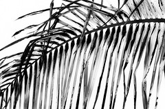 palm script  (more atrsy LARGE) (Noel Leone--my reality in and out of focus) Tags: palmfond sandiego likecalligraphy bw mono lightroompreset oldphotoreworked sumiesque