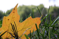 First Fallen (Starfreak611) Tags: autumn leaf leaves colorfulleaf august endofsummer fallcolors nature outdoors macro canon f2860mm 60mm