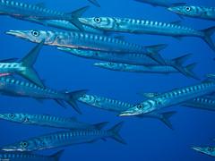P9260223 (juredel) Tags: juredel merou becon olympus corse corsica méditéranée mediteranneansea blue fish poisson banc omd em5 oxy oxygene wall wallpaper