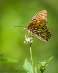 Potts Preserve Gulf Fritillary on Elephant's Foot flower 07-21-2016 (Jerry's Wild Life) Tags: butterfly citrus citruscounty county elephantsfoot florida fritillary gulf gulffritillary potts pottspreserve tallelephantsfoot wildflower