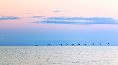 11 in a Row (imageClear) Tags: geese wildlife line eleven beauty evening sundown sunset sky clouds lake lakemichigan landscape sheboygan wisconsin aperture nikon d600 105mm imageclear flickr photostream
