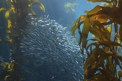 Kelp Forest (justin G 11:11) Tags: monterayaquarium underwater pacificocean nikon california
