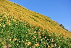 Daylilies in Sixty Rock Mountain-Hualien-Taiwan (Little Henry) Tags: flower mountain landscape taiwan hualien hemerocalliscitrina citrondaylily