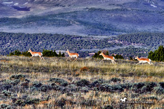 THE HIGH GROUND (Aspenbreeze) Tags: pronghorn americanpronghorn wyomingwildlife coloraowildlife wyoming antelope wildpronghorn rural mountains nature animal country highaltitude runningpronghorn bevzuerlein aspenbreeze moonandbackphotography ngc