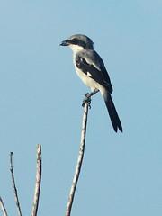 Loggerhead Shrike 05-20160819 (Kenneth Cole Schneider) Tags: florida miramar westbrowardwca