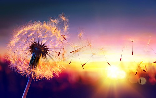 Dandelion To Sunset - Freedom to Wish (lisame0511) Tags: dandelion wish sunset closeup seeds sunlight blowing macro flying pollen wind sky sun freedom nature scene season light spring wishing seasonal summer air single allergy background delicate italy