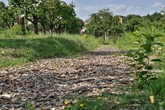 Wooden path in the orchard (Sarka Tesik) Tags: wood path ilobsterit hrdlorezy praha sad stromy tresnovka zizkov nature priroda tree visnovka zelena cherrytree orchard prague czechrepublic natural park