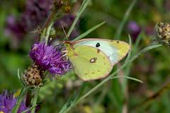 Goldene Acht (planetvielfalt) Tags: coliadinae lepidoptera pieridae sachsenanhalt deutschland