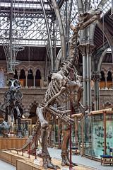 Iguanodon bernissartensis (jasjo) Tags: oumnh dinosaur history iguanodonbernissartensis museum natural oxford skeleton university easyhdr canon canon500d efs1855mm hdr