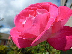 One Of My Red Roses ! (Mara 1) Tags: rose summer red petals bloom head sunny shadows outdoors