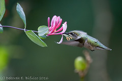 Hummies in the honeysuckle... (dbifulco) Tags: rthu flight flowers flying garden honeysuckle juvenile newjersey nikkor300f4pfed pink rubythroatedhummingbird