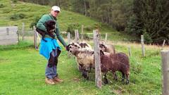 At Wolfgangsee (Schnella Schnyder) Tags: austria sterreich wolfgangsee alps alpen sheeps schafe