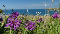 20160719_Padstow_0061 Orchids~Padstow Bay (paul_h2525) Tags: swcoastalpath orchids padstowbay cornwall