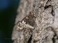Great Banded Grayling - Brintesia circe - France (ArtFrames) Tags: aude france great banded grayling brintesia circe papeur butterfly olympus digital camera em5mk2 40150 languedocroussilin