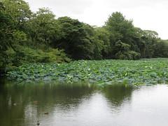 IMG_4936 (jaglazier) Tags: 2016 9516 castles copyright2016jamesaglazier deciduoustrees flowers fukuoka japan moats plants september trees fukuokajo gardens lotus parks ponds fukuokashi fukuokaken