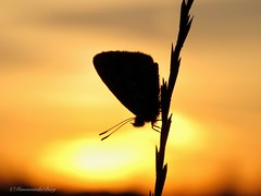 Fading away (Manon van der Burg) Tags: sunset zonsondergang icarus silhouette blauwtje field sx60 evening macro warm summertime powerrrrshot canon nofilter nature natuurfotografie creative naturelover view happytimes biglove passion