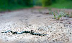King Crossing (cre8foru2009) Tags: neonate kingsnake lampropeltisnigra baby nature habitat snake