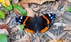 red admiral (Black Hound) Tags: johnheinznationalwildliferefuge johnheinznwr butterfly redadmiral sony a500 50mm prime minolta
