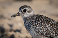Black-bellied Plover (halladaybill) Tags: blackbelliedplover crystalcove newportbeach california unitedstates us nationalgeographicwildlife