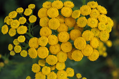 Tansy Time (Jan Nagalski) Tags: wildflower yellow bright saturatedcolor nativewildflower waterdrops condensation tanacetumvulgare marquette michigan upperpeninsula composite fragrant nature jannagalski tansy commontansy nonnativewildflower compositae alien nonnative dark darkbackground blur backgroundblur black
