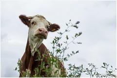 Koe als model  (HP016416) (Hetwie) Tags: plantjes frankrijk polignac natuur nature workshop wei koe cow hauteloire