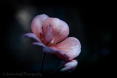 Fuji x-t10 pentacon 30mm (Jasrmcf) Tags: fujj fujifilm fujixt10 fujimacro macro pink pentacon 30mm dof bokeh bokehlicious bokehgraph flowers flower beautiful smooth blur garden nature
