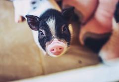 (Diego Chiu) Tags: animal nature   outdoor pink   eyes  black farm  bokeh macro