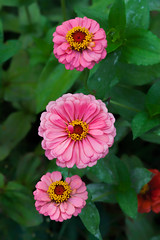 Pink Threesome .... (zoomclic) Tags: canon closeup colorful threesome pink green 5dmarkii tse90mmf28 flower foliage zinnia nature garden flowers dof dreamy bokeh summer zoomclicphotography