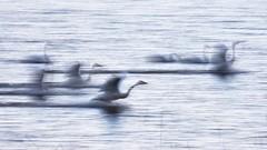 Roost entering. (K16mix) Tags: japan izunuma miyagi swan lake kurihara wildlife wildbird water nature eaafp ramsarconvention           animal