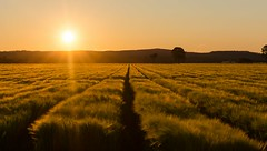Shannon Brook (dustaway) Tags: crops agriculture shannonbrook landscape sundown sun richmondvalley northernrivers nsw australia barley rows