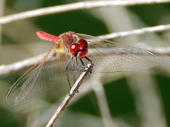 Sympetrum fonscolombii, Red-veined Darter (amantedar) Tags: insect fauna animal sympetrumfonscolombii redveineddarter dragonfly