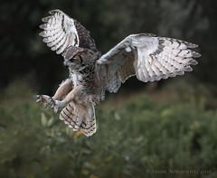 Don't move (Susan Newgewirtz) Tags: raptor nikon nikond750 nikkor70200mm greathornedowl owl ontario beautiesbeasts