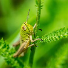 Sur une brindille perche je vous ai  l'oeil (daumy) Tags: grasshooper sauterelle vert nature brindille feuille antennes herbe