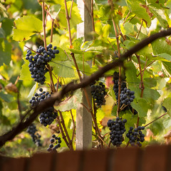 wine grapes (apmckinlay) Tags: grapes grapevines nature plants