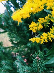 Bee collecting (nikitalesnik) Tags: honeybee iphone6plus iphone6 phone iphone plant nature insect yellow flower bee