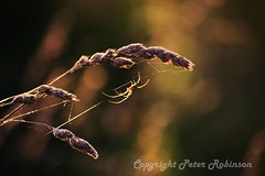 DSC_0512 (Phutball) Tags: sunlight nature grass insect spider bokeh phutball d3100