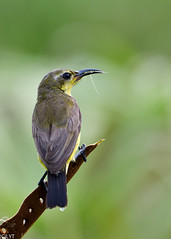 Olive-backed Sunbird (Female) - Cinnyris jugularis (3) (Andy_LYT) Tags: bird nikon singapore sunbird lorong 600mm cinnyrisjugularis halus olivebacked d7000