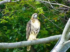 Northern Red-tailed Hawk (Buteo jamaicensis abieticola) (quadceratops) Tags: park red boston zoo franklin hawk massachusetts raptor jamaica northern plain tailed buteo jamaicensis abieticola