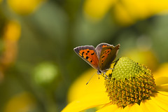 Kleine vuurvlinder - Lycaena phlaeas (webted) Tags: macro closeup butterfly insect september tuin geel zon oranje vlinder zonnehoed zonnig lycaenaphlaeas kleinevuurvlinder