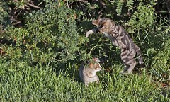 Cats!!! (Claude Bissonnette) Tags: cats grass fence post farm alberta wodden sibblings