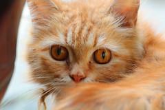 The Eyes of a True... (James PayneDeath) Tags: hot eye cat indonesia that photography james photo eyes aperture photographer free jakarta warrior 70300mm tamron vc taman 56 payne 57 usd photographe bekasi cikarang jamespayne paynedeath adhitthana thepayneofdeath panyedeath