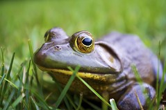 Bullfrog (shootingthedog) Tags: green frog bullfrog
