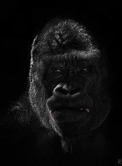Gorilla Portrait (Explored) (chmeermann | www.chm-photography.com) Tags: portrait zoo nikon gorilla ape nikkor lowkey duisburg affe 70300 colorkeying menschenaffe zooduisburg d80 portrat mygearandme highqualityanimals